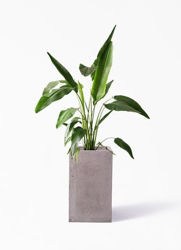 観葉植物 旅人の木 8号 セドナロング グレイ 付き