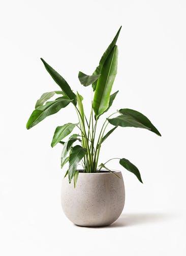 観葉植物 旅人の木 8号 テラニアス ローバルーン アンティークホワイト 付き