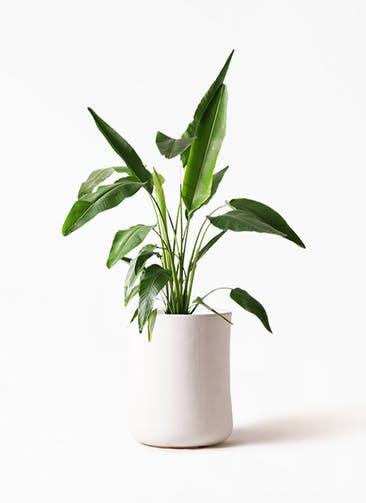 観葉植物 旅人の木 8号 バスク ミドル ホワイト 付き