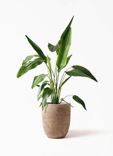 観葉植物 旅人の木 8号 ルーガ アンティコ アルトエッグ 付き