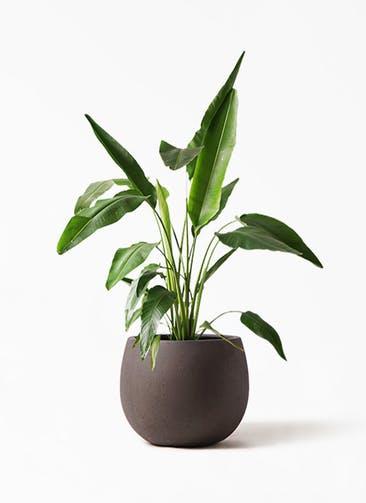 観葉植物 旅人の木 8号 テラニアス ローバルーン アンティークブラウン 付き
