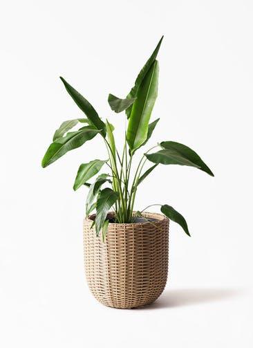 観葉植物 旅人の木 8号 ウィッカーポットエッグ ベージュ 付き