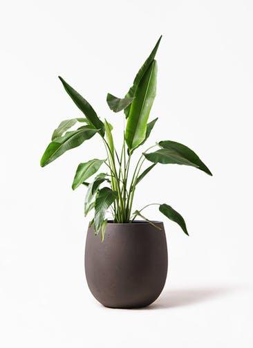 観葉植物 旅人の木 8号 テラニアス バルーン アンティークブラウン 付き