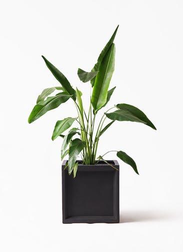 観葉植物 旅人の木 8号 ブリティッシュキューブ 付き