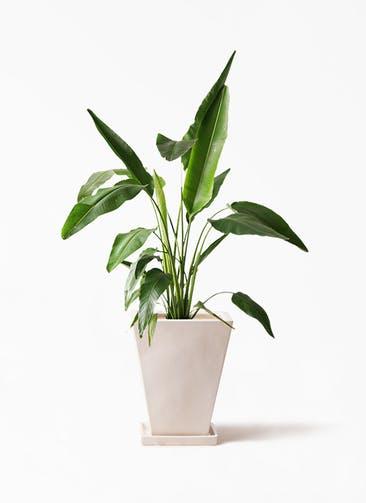 観葉植物 旅人の木 8号 スクエアハット 白 付き