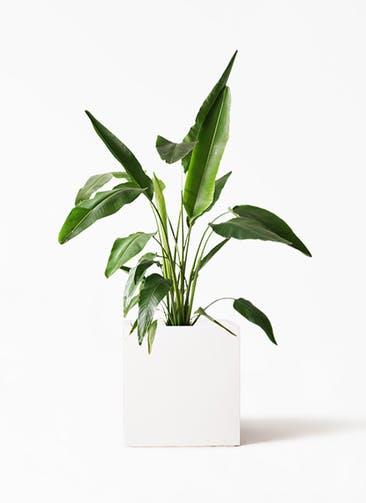 観葉植物 旅人の木 8号 バスク キューブ 付き