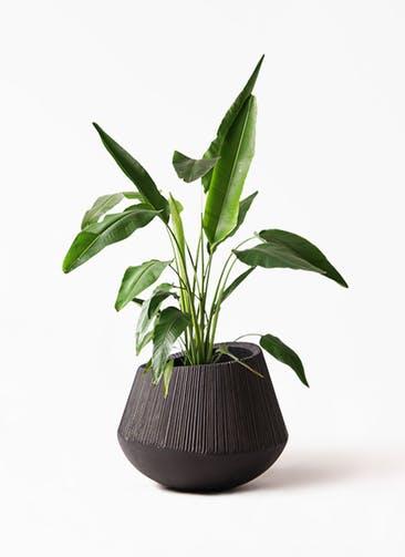 観葉植物 旅人の木 8号 エディラウンド 黒 付き