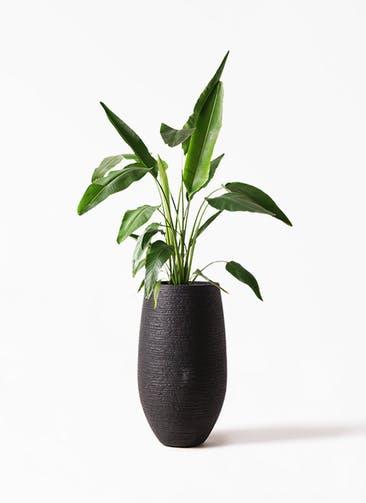 観葉植物 旅人の木 8号 フォンティーヌトール 黒 付き
