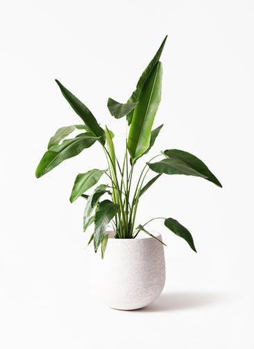 観葉植物 旅人の木 8号 エコストーンwhite 付き