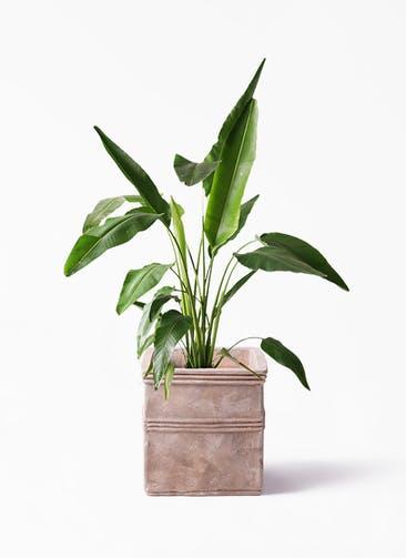 観葉植物 旅人の木 8号 テラアストラ カペラキュビ 赤茶色 付き