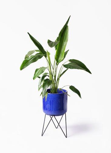 観葉植物 旅人の木 8号 ビトロ エンデカ ブルー アイアンポットスタンド ブラック 付き