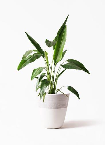 観葉植物 旅人の木 8号 ジュピター 白 付き