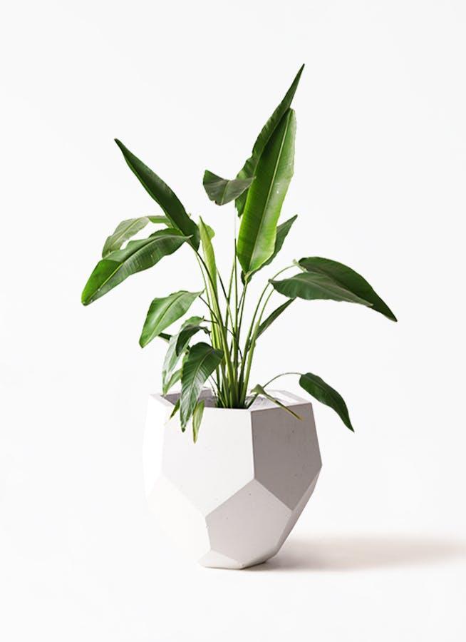 観葉植物 旅人の木 8号 ポリゴヘクサ 白 付き