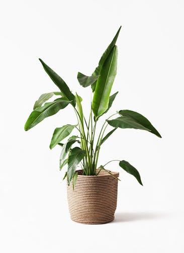 観葉植物 旅人の木 8号 リブバスケットNatural 付き
