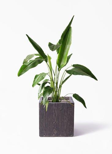 観葉植物 旅人の木 8号 ベータ キューブプランター ウッド 茶 付き