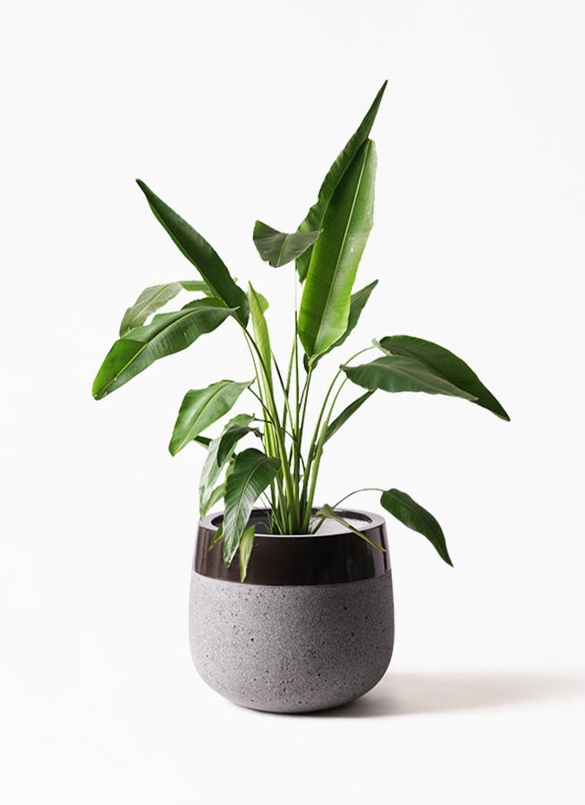 観葉植物 旅人の木 8号 ファイバーストーンタウルス 黒 付き