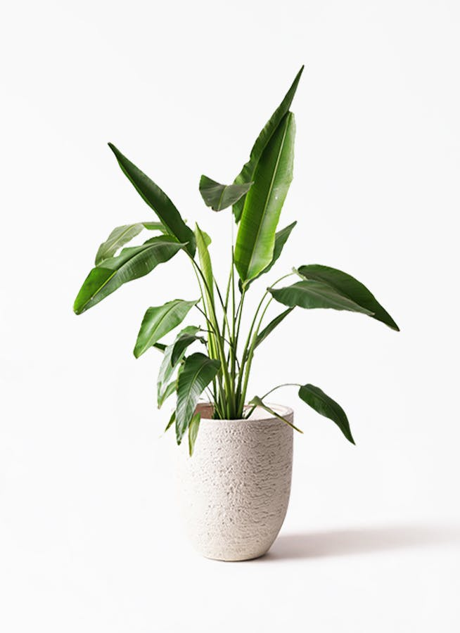 観葉植物 旅人の木 8号 ビアスアルトエッグ 白 付き