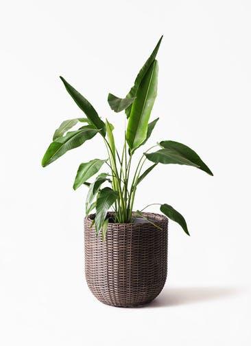 観葉植物 旅人の木 8号 ウィッカーポットエッグ 茶 付き