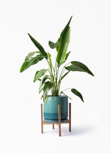 観葉植物 旅人の木 8号 ビトロ エンデガ ターコイズ ウッドポットスタンド付き