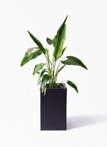 観葉植物 旅人の木 8号 セドナロング 墨 付き