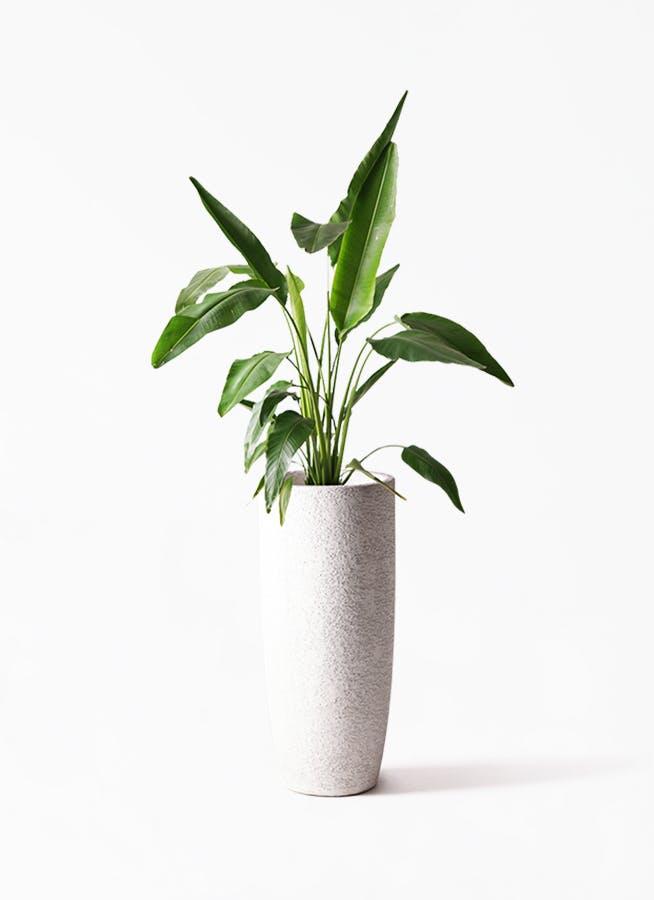 観葉植物 旅人の木 8号 エコストーントールタイプ white 付き