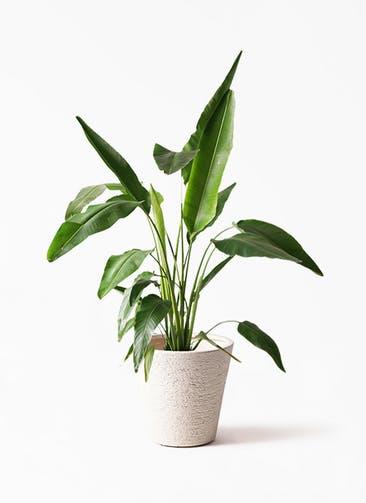 観葉植物 旅人の木 8号 ビアスソリッド 白 付き