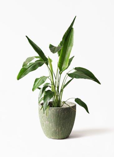 観葉植物 旅人の木 8号 アビスソニアミドル 緑 付き
