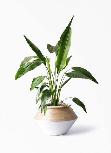 観葉植物 旅人の木 8号 アルマジャー 白 付き