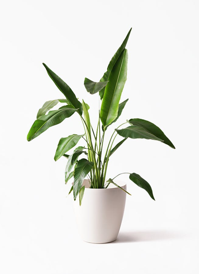 観葉植物 旅人の木 8号 ラスターポット 付き