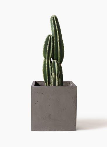 観葉植物 柱サボテン 8号 コンカー キューブ  灰 付き