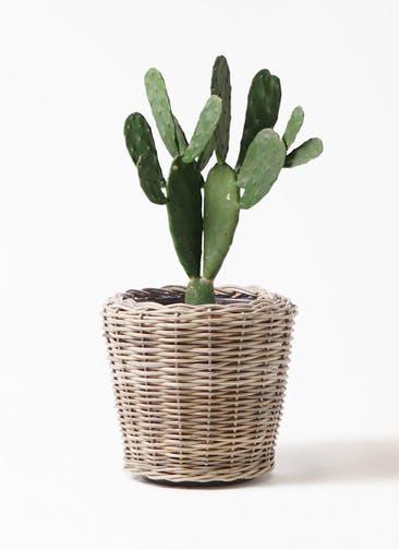 観葉植物 ウチワサボテン 8号 モンデリック ラタン 付き
