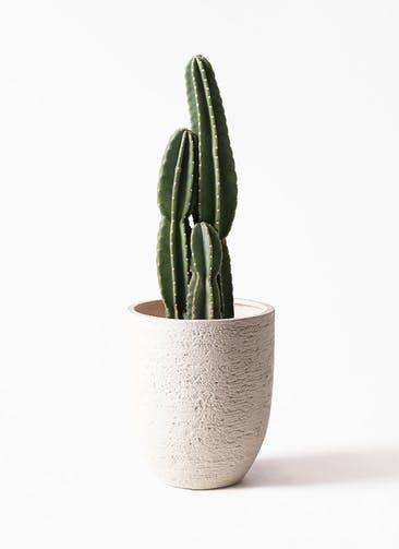 観葉植物 柱サボテン 8号 ビアスアルトエッグ 白 付き