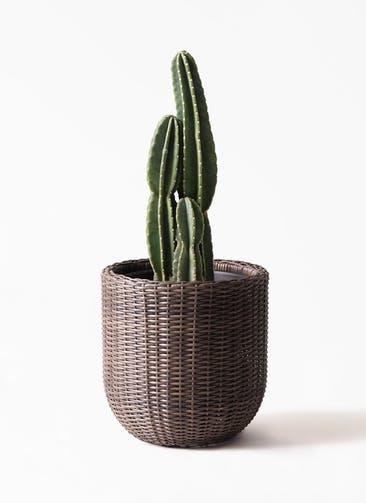観葉植物 柱サボテン 8号 ウィッカーポットエッグ 茶 付き