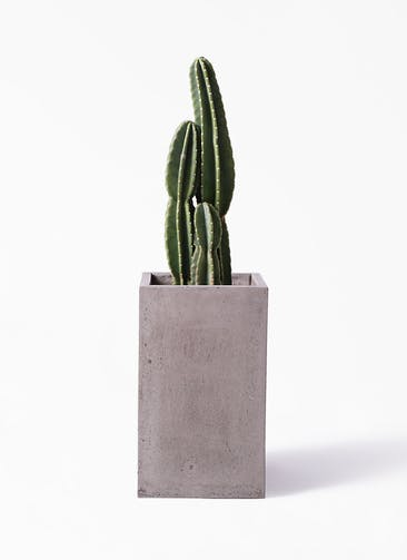観葉植物 柱サボテン 8号 セドナロング グレイ 付き