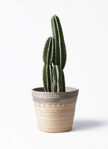 観葉植物 柱サボテン 8号 アルマ コニック 白 付き