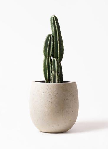 観葉植物 柱サボテン 8号 テラニアス バルーン アンティークホワイト 付き