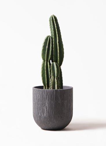観葉植物 柱サボテン 8号 カルディナダークグレイ 付き