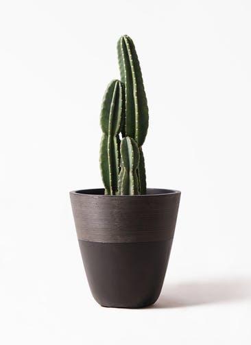 観葉植物 柱サボテン 8号 ジュピター 黒 付き