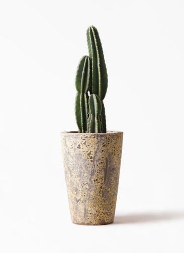 観葉植物 柱サボテン 8号 アトランティス クルーシブル 付き