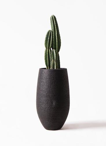 観葉植物 柱サボテン 8号 フォンティーヌトール 黒 付き