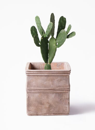 観葉植物 ウチワサボテン 8号 テラアストラ カペラキュビ 赤茶色 付き