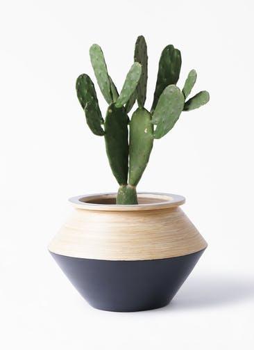 観葉植物 ウチワサボテン 8号 アルマジャー 黒 付き