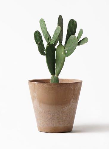 観葉植物 ウチワサボテン 8号 アートストーン ラウンド ベージュ 付き