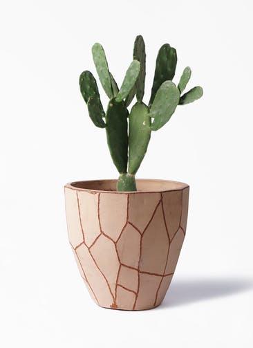 観葉植物 ウチワサボテン 8号 ウィスク 付き
