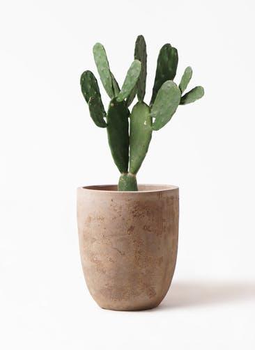 観葉植物 ウチワサボテン 8号 ルーガ アンティコ アルトエッグ 付き
