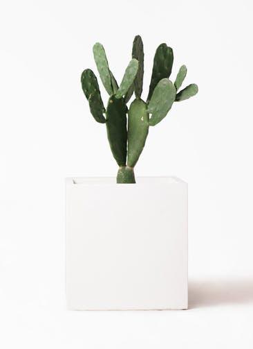 観葉植物 ウチワサボテン 8号 バスク キューブ 付き