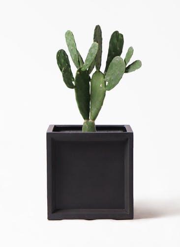 観葉植物 ウチワサボテン 8号 ブリティッシュキューブ 付き