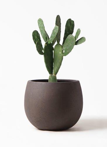 観葉植物 ウチワサボテン 8号 テラニアス ローバルーン アンティークブラウン 付き