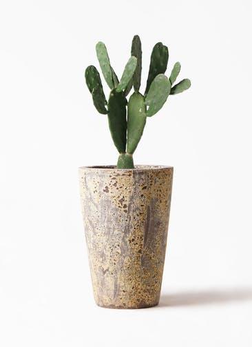 観葉植物 ウチワサボテン 8号 アトランティス クルーシブル 付き