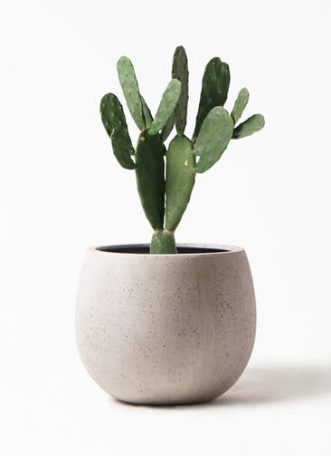 観葉植物 ウチワサボテン 8号 テラニアス ローバルーン アンティークホワイト 付き